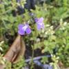 マツバウンランとオオアラセイトウの紫の花