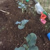 大根の間引き ブロッコリー、白菜を植えた