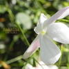 ジャスミン 素馨 オオバナソケイ Jasminum grandiflorum