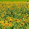 夏のひとり旅~北海道旅行計画「北竜町ひまわりの里編」