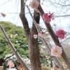 横浜外国人墓地に咲く、不思議な2色の梅「思いのまま」とえの木てい散歩