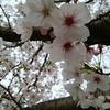 葉桜もきれい。