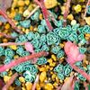 小さなバラのような:エッチュウミセバヤに新芽