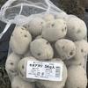 ジャガイモの種芋を植える。品種はキタアカリ。