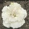 ハボタンが白に 黃と白の花