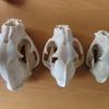 頭骨 標本修復