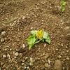 今年のサツマイモは鳴門金時と安納芋を選択