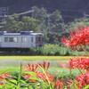 彼岸花と養老鉄道