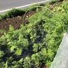 11月の連休の野菜の様子