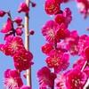 紅梅と河津桜
