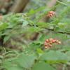 花山椒を収穫しました
