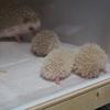 ハリネズミの赤ちゃん1ヶ月目