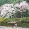 桜満開の川湯共同露天風呂