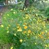 「佐久の季節便り」、「キバナコスモス」は、「コスモス」とは別種…。