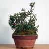 (短文)大宮盆栽のチョウジュバイ