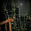 夕涼み時間が充実♪―フウセンカズラの緑のカーテン途中経過3