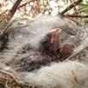 野鳥のヒナはとにかく眠い。ひたすら寝てすごす