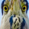1019【巨大ミミズがアオサギに食べられる】ゴイサギ幼鳥ホシゴイ、カワセミペリット、カルガモ親子X組の奇形と珍色、ふくら雀、セキレイ捕食、チョウゲンボウ #今日撮り野鳥動画まとめ #身近な生き物語