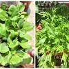 小松菜と水菜とルッコラの収穫!