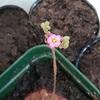 コモウセンゴケが咲きました