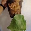 ビカクシダの貯水葉は枯れた方が良い!ビカクシダ・エレマリアの胞子葉の葉脈が綺麗過ぎる。