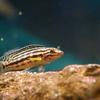 ジュリドクロミス・マルリエリ Julidochromis marlieri