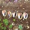 美しいカズラガイをきれいに保存したい!リベンジ大作戦