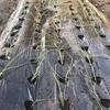 Refarmで玉ねぎ苗150本植える。玉ねぎの自給を。