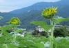 ひまわり 黄色い花びらが