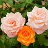 【福山バラ祭り】初めての花撮影!別に、あれをうまく撮影してしまってもよいのだろう? byアーチャー