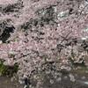 新宿御苑は桜満開!静かなお花見に最適です!