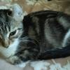猫ブログ_衝撃の重病 FIP #アメリカンカール