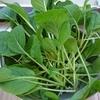 初心者による目指せポタジェの庭!小松菜の収穫方法を変えたら楽に♪