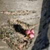 実家の近所と京都駅付近の桜
