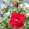 薔薇が咲いた♪【我家のお花シリーズ】