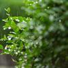 雨で庭の緑いきいき