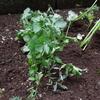 庭にパクチー植えてみた!