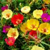 美しいバラの花のトップ10