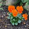 いよいよ冬本番だけれど、早くも春の花はスタンバイ!『日々嬉』我が家にようこそ!