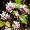 「佐久の季節便り」、「ジンチョウゲ(沈丁花)」が、春の香りを漂わせ…。