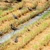 秋の田のムナグロ