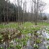 馬入湿原水芭蕉群生地