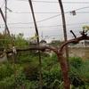 葡萄が新芽を出して 楽しみに待つ Grapes giving out shoots