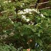 オンファロデスの開花