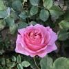 なんとかアレキサンドラオブケントが、きれいに咲いた話と、ネコの粗相対策