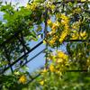 春の名残りか黄色系:初夏の庭の花(3)