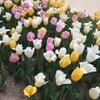 ②フラワーパークのお花たち チューリップ
