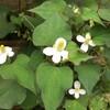 清楚な白い花は