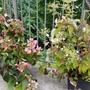 イワガラミ、夏の池、果樹