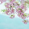 【可愛すぎる桜】ひな祭りやホワイトデーにもおすすめ!桜スイーツからコスメ、雑貨、アクセサリーまで桜グッズ大集合!